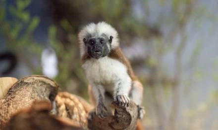 The Green Planet Becomes Home to Twin Tamarin Monkeys
