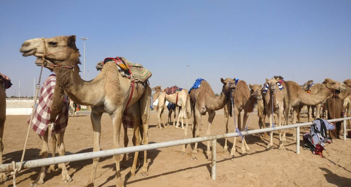 A guide to watching camel racing in dubai by british mum nisha a guide to watching camel racing in dubai by british mum nisha childs altavistaventures Choice Image